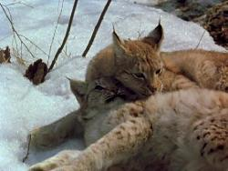 Рысь выходит на тропу (1982) DVDRip